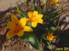 01-tulipany